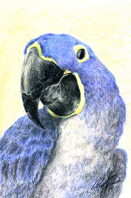 "Yelena Shabrova ~ Parrot ~ colored pencil, 4"" x 6"""