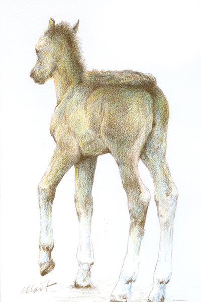 "Yelena Shabrova ~ A sketch a day: foal ~ Faber-Castell colored pencils on Canson drawing paper, 4"" x 6"""